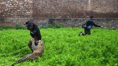 Tchad: un léopard blesse 10 personnes à N'Djamena