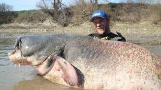 Un pêcheur remonte une énorme prise, un poisson-chat de 2,7 mètres de long, établissant un nouveau record