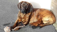 Onnie, chienne de recherches et de sauvetage, a été volée à Vannes - les pompiers ont besoin d'aide pour la retrouver