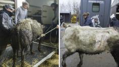 Belgique : prison ferme et 60.000€ d'amendes pour le couple d'éleveurs de bovins de la «ferme de l'horreur»