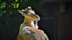 Chasse: il paie près de 100 000 euros pour tuer une chèvre rare au Pakistan