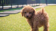 Un caniche sauvé d'une ferme d'élevage de viande canine trouve une nouvelle vie en Amérique