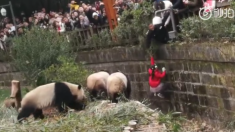 Une fillette de 8 ans tombe dans un enclos de pandas en Chine