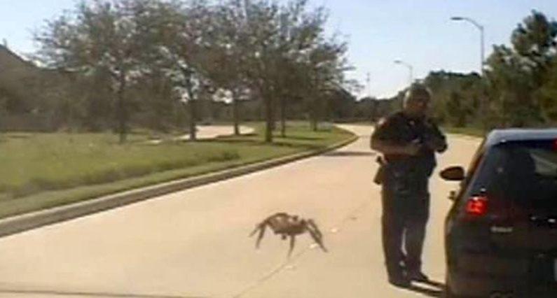 Vidéo: une araignée «géante» rampe vers un policier lors d'un contrôle routier
