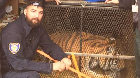 Un tigre en surpoids, abandonné dans une petite cage dans un garage de Houston, est maintenant «heureux et épanoui»