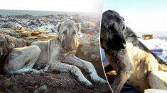 Un chien errant géant est trouvé dans une décharge gelée par le froid alors que les sauveteurs tentent de sauver 800 chiens sans-abri