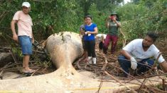 Une jeune baleine à bosse de 11 mètres trouvée morte dans les mangroves marécageuses d'Amazonie: comment est-elle arrivée là?