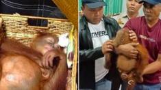 Un passager est surpris avec un orang-outan drogué dans sa valise