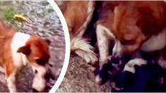 Une maman chienne filmée en train de faire tout ce qu'elle peut pour protéger ses bébés quelques jours après l'accouchement