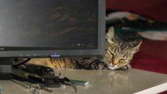 Japon : une entreprise adopte des chats abandonnés afin de réduire le stress de ses employés