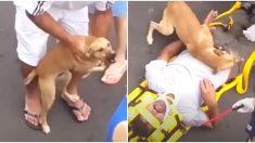 Un chiot affolé refuse de quitter son propriétaire blessé