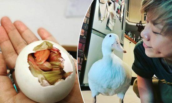 Une dame fait éclore un œuf de canard du marché à titre d'expérience et se fait une amie à vie