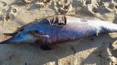 Plus de 1 100 dauphins échoués sur la côte atlantique depuis janvier victimes des filets de pêche qui les prennent au piège