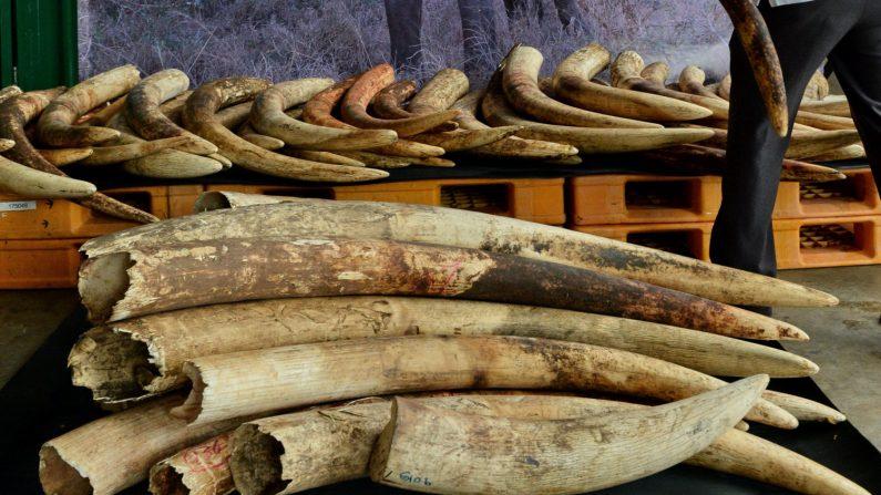 Cameroun: saisie de 2 tonnes d'écailles de pangolins et 200 pointes d'ivoire