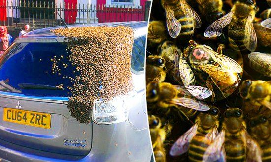 Un essaim de 20 000 abeilles suit la voiture d'une femme pendant deux jours lorsque la reine se retrouve coincée à l'intérieur