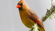 Une femme repère un cardinal jaune dans son jardin - «Une chance sur un million»