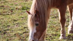 SPA: Marcus, Titus… maltraités, les chevaux reprennent goût à la vie