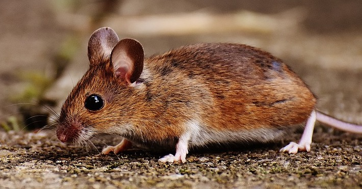 Hauts-de-Seine: elle retrouve une souris vivante dans l'emballage du pain qu'elle allait acheter