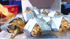 1 500 tortues entourées de ruban adhésif ont été retrouvées dans des valises