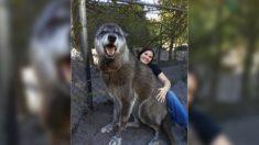 Une triste nouvelle concernant un chien-loup géant nommé Yuki, qui avait été sauvé d'un centre d'euthanasie