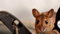 Une souris qui faisait du rangement dans une remise tous les soirs pendant un mois laisse le propriétaire de 72 ans déconcerté lorsqu'il la découvre