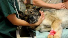 Un policier invente une ambulance mobile pour les chiens errants - on le surnomme «l'ange des chiens abandonnés»
