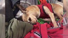 Dans de vieux vêtements, un chien sent l'odeur de son maître décédé 6 ans auparavant et n'arrête pas de s'y blottir