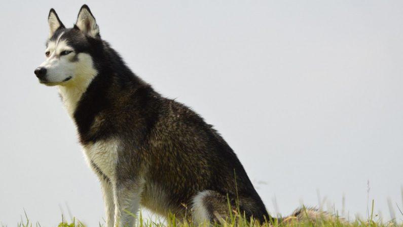 Oise: qui a tué Snow, le husky? Une pétition et un appel à témoins lancés pour demander justice