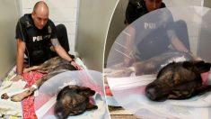 « Titan », un brave chien policier atteint par balle lors d'un contrôle routier, est sur la voie du rétablissement complet