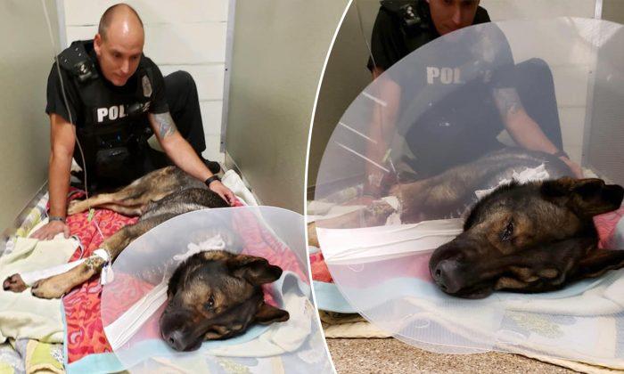 «Titan», un brave chien policier atteint par balle lors d'un contrôle routier, est sur la voie du rétablissement complet