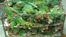 Des agents de la faune sauvent 550 oiseaux entassés dans de minuscules cages dans un marché noir d'animaux de compagnie en Inde