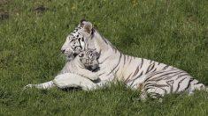 Bouches-du-Rhône : naissance de bébés tigres blancs dans une maison de retraite pour animaux de cirque