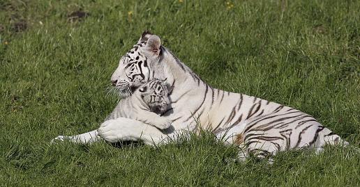 Bouches-du-Rhône: naissance de bébés tigres blancs dans une maison de retraite pour animaux de cirque