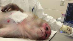 Des scientifiques chinois implantent des gènes du cerveau humain chez des singes