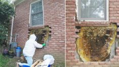 Un homme qui murmure à l'oreille des abeilles passe 5 heures à enlever un nid d'abeilles géant caché derrière un mur de brique