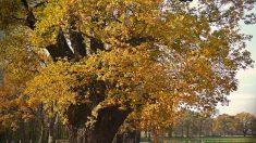 Charpentes Notre-Dame : don de 1 300 chênes centenaires par l'assureur Groupama