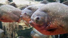 Des piranhas ont été trouvés dans un lac anglais où pagayent les enfants - des canards disparaissent