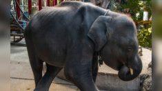 Un éléphanteau nommé 'Dumbo' meurt après s'être cassé les jambes dans un zoo thaïlandais