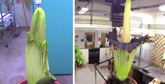 Gigantesque et malodorant: voici le cycle de floraison complet de la «fleur de cadavre»