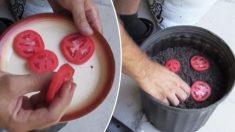 Le truc le plus simple pour cultiver vos propres tomates avec seulement 3 choses
