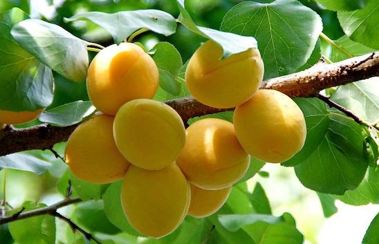 L'achat d'abricots à la ferme bientôt impossible à cause d'une norme