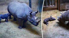 Un bébé rhinocéros noir en voie de disparition né au zoo de Chicago franchit une « étape importante » : sa mère l'allaite