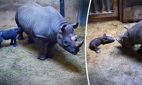 Un bébé rhinocéros noir en voie de disparition né au zoo de Chicago franchit une «étape importante»: sa mère l'allaite