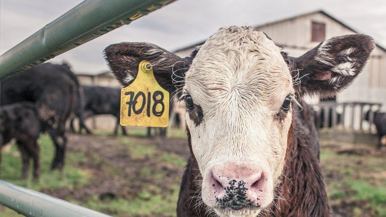 Un éleveur breton contraint de vendre un veau pour 4,22 euros dit son ras-le-bol