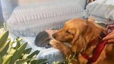 Une golden retriever «pleure» la nuit en attendant son propriétaire qui ne reviendra pas