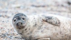 Phoques décapités dans le Finistère : deux marins-pêcheurs convoqués devant la justice