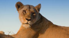 Une fillette de 4 ans dans un état critique après avoir été scalpée par une lionne