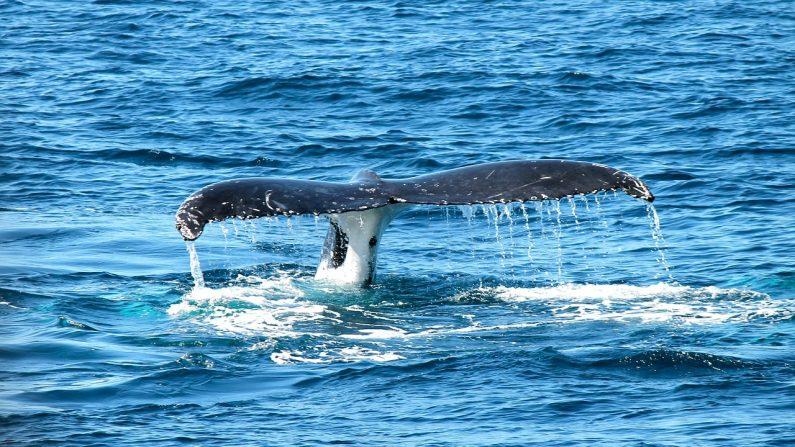 Des images montrent le moment où une baleine à bosse surgit près d'un bateau de pêche