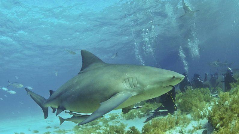 La Nouvelle-Calédonie va abattre des requins après deux attaques