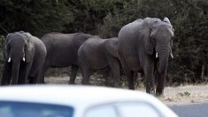 Exaspérés par les éléphants, les fermiers du Botswana saluent le rétablissement de la chasse